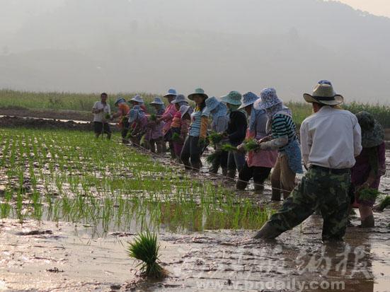 勐旺乡完成水稻高产栽培品种移栽