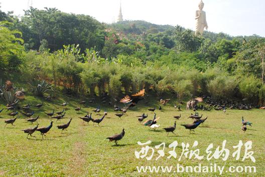 西双版纳勐泐大佛寺孔雀文化园试运营