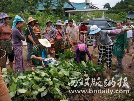 图为茶农在领取茶园套种的各种果树苗。