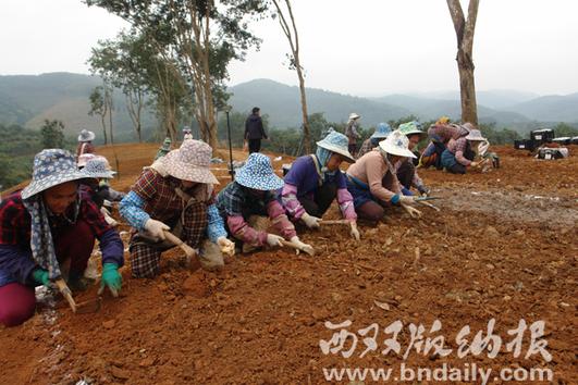 60多名员工正在忙着平整土地、选种苗、栽百合