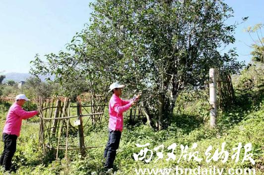 图为认养者对古茶树进行围护。