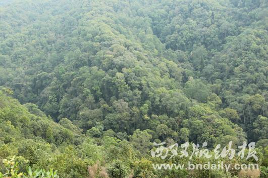 易武镇保存完好的森林资源