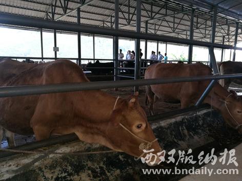 岩甩养殖合作社养殖的体格肥壮的肉牛