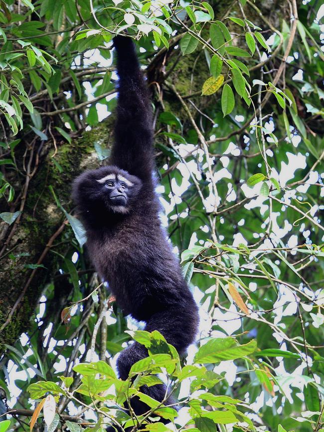 图二 高黎贡白眉长臂猿。李家鸿摄